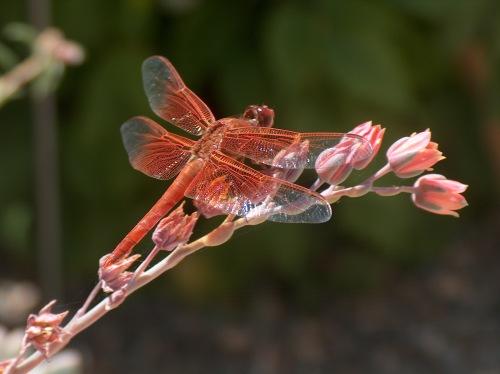 dragonfly HPIM7275