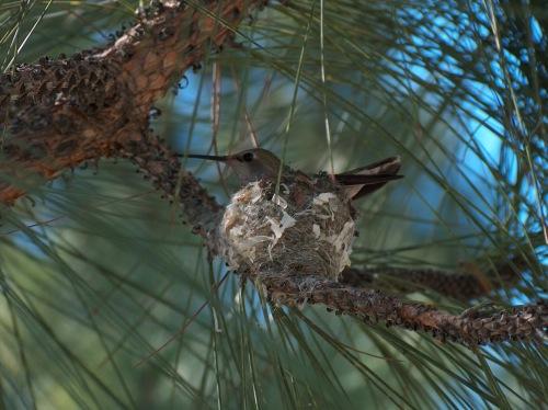 hummingbird mama HPIM0739
