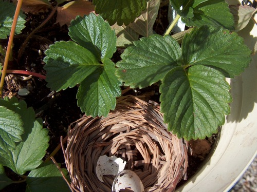 nest in strawberries HPIM0775