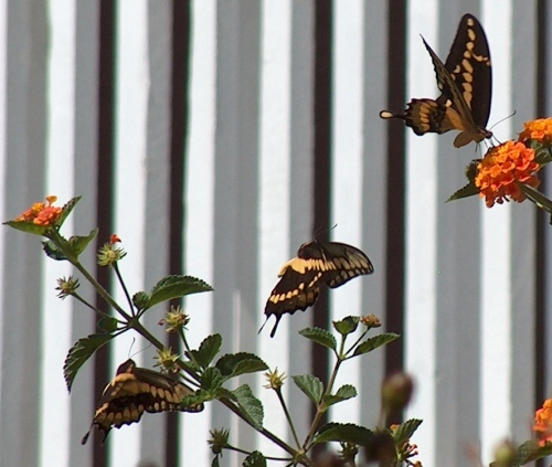 3 swallowtails at fence HPIM8412 - Version 2