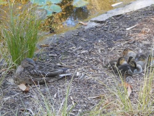 ducks DSCN2273