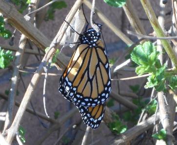 1-26-2015 monarch #1c